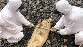 馬祖東引又見死亡鯨豚金馬澎分署第十岸巡隊13日下午在東引清水澳岸際發現1隻死亡海豚,外觀腐爛無法辨識品種,因無研究價值,隨即將豚體現場掩埋。(金馬澎分署第十岸巡隊提供)中央社 108年4月13日