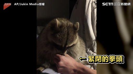 浣熊奮力伸手討食 張大口猛吃萌翻網友