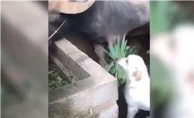 你有看過《狗狗猩猩大冒險》嗎?日本知名節目拍出不同動物間的感人友情,而在印度的旁遮普邦也出現了一隻狗狗和水牛,雙方互動超友愛,讓不少人看了都影片都直呼「超暖心」!(圖/ 翻攝自Viral Dudee YouTube)