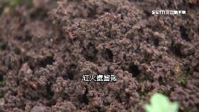 紅火蟻咬童1800