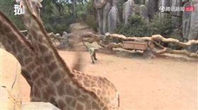 雲南動物園,長頸鹿,撒鈔票。(圖/翻攝自騰訊視頻)