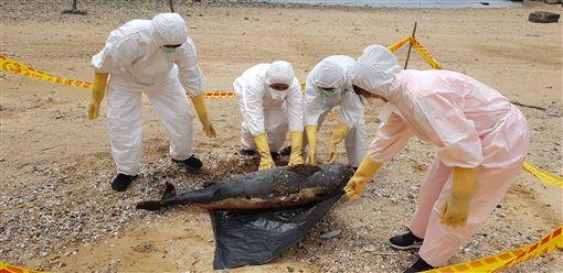 馬祖連續3天發現死亡鯨豚,14日上午在南竿勝天公園又發現一隻死亡鯨豚,豚體外觀已腐爛(長度約60公分,寬度約16公分),現場即將豚體實施掩埋。(馬祖岸巡隊提供)中央社 108年4月14日