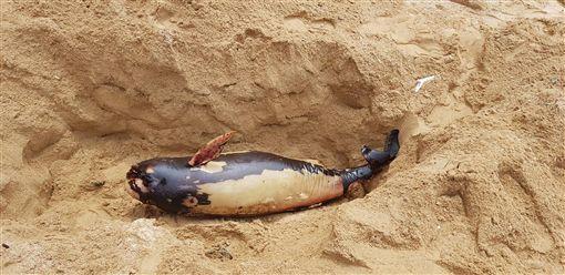 馬祖連續3天發現死亡鯨豚,馬祖岸巡隊14日上午11時左右又發現死亡鯨豚,為今年第8隻死亡露脊鼠海豚。(馬祖岸巡隊提供)中央社 108年4月14日