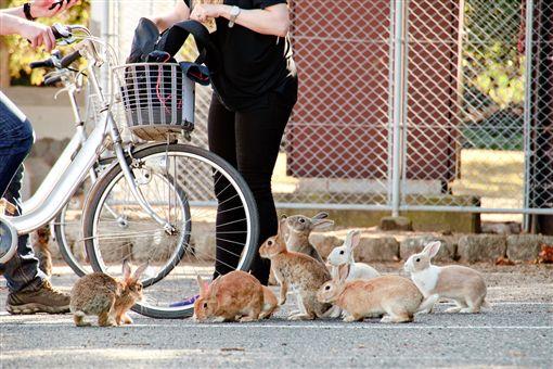 ▲一整群的小兔兔是大久野島上最萌的風景(圖/shutterstock.com)