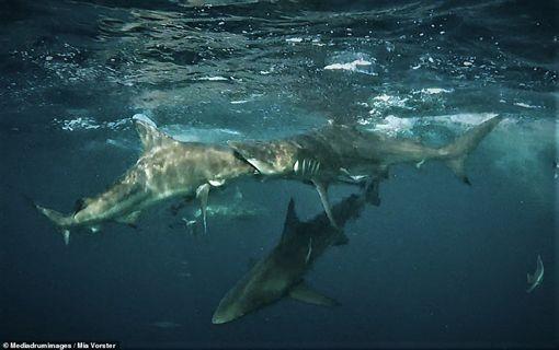 鯊魚,南非,吞 (圖/翻攝自推特RawOceans)