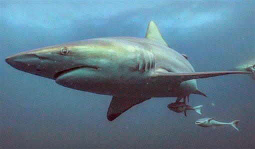 鯊魚,南非,吞 (圖/翻攝自推特)