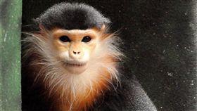 白臀葉猴,美猴王 https://www.flickr.com/photos/kevinwburkett/3825102398/in/photolist-6Q1DFm-7a6fVD-cpa9Ny