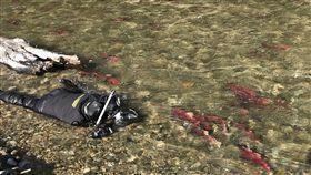 吳永森拍攝紅鮭台灣水下攝影師吳永森為捕捉太平洋紅鮭的照片,在加拿大冰冷溪水中趴了近30個小時。(吳永森提供)中央社記者戴雅真倫敦傳真 108年4月21日