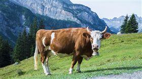 新竹,家畜所,牛隻,屠宰,活體灌水