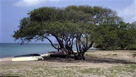 毒番石榴樹