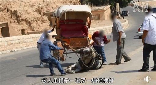 埃及駱駝、馬匹慘遭虐打(圖/翻攝自PETA 亞洲善待動物組織臉書粉絲專頁)