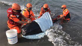 領航鯨受傷擱淺 海巡緊急救援(1)海巡署南部分署第一一岸巡隊23日獲報前往高雄市二仁溪橋南側沙灘救援受傷擱淺的領航鯨,先以濕布覆蓋並持續灑水保持濕潤,等待成大海洋生物暨鯨豚研究中心人員到場。(第一一岸巡隊提供)中央社記者楊思瑞台南傳真 108年4月23日