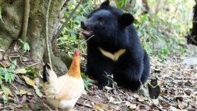 安南小熊滿週歲107年7月初在花蓮安南瀑布步道被發現和熊媽媽分開的小黑熊妹妹,如今已滿週歲,將野放回森林,當初被當作狩獵訓練的雞與牠變成好朋友。(取自台灣黑熊保育協會臉書)中央社記者盧太城台東傳真 108年4月20日