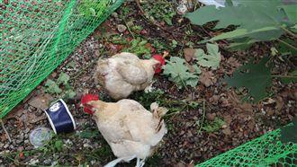花博接駁站變養雞場 中市:要求改善