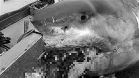 大白鯊,海龜,日本,船長,獵物 翻攝臉書