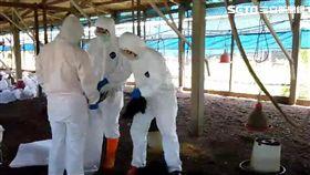 彰化二林鎮一處土雞場確診H5N2亞型高病原性禽流感,4月25日撲殺2萬7103隻土雞。