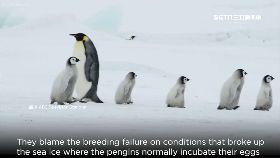 冰裂滅企鵝1800
