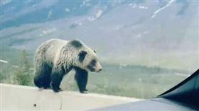 加拿大灰熊(圖/翻攝自Christina Read臉書)