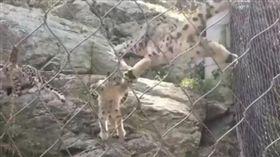 小雪豹惡作劇飛撲媽媽,母子同時被嚇。