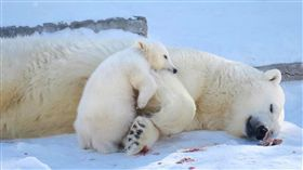 俄學者訪台  將合拍北極熊紀錄片俄羅斯科學院西伯利亞分院冰凍圈生物研究所長奧克洛普柯夫訪台,未來將合作前進熊島群島拍攝北極熊紀錄片。俄科院研究員魯斯蘭也提供北極熊現況照片與案例資料。(Ruslan Kirillin提供)中央社記者黃旭昇新北傳真  108年5月4日
