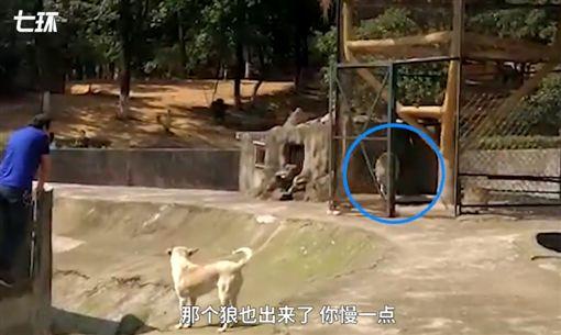 狼,狗,中國,武漢,動物園 (圖/翻攝自澎湃新聞)