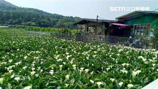 竹子湖,海芋,賞花,台北市產業發展局,陽明山,,繡球花