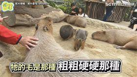 ▲水豚慵懶的模樣療癒人心。(圖/妮什麼毛? Anita&Ed 授權)