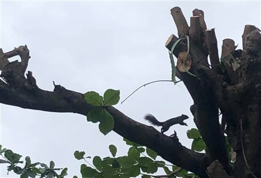 台東又見光頭樹 樹的理髮師看了心哭泣台東市民運動的舊鐵道步道,兩旁大葉欖仁樹被修剪得光禿禿,國立台東大學講師李潛龍說,茂密的樹枝和樹葉是鳥類和松鼠的天堂,如今松鼠在光禿禿的樹幹上,不知如何是好,無法跳到另一棵樹。(李潛龍提供)中央社記者盧太城台東傳真 108年5月4日