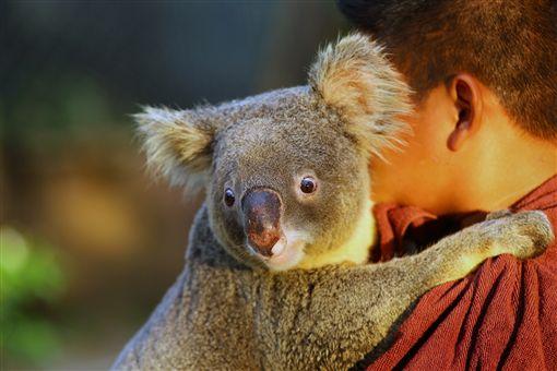 ▲昆士蘭州是澳洲唯一可以合法抱無尾熊的地方(圖/shutterstock.com)