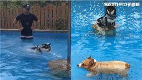 毛孩游泳對比。(圖/許嘉恩授權提供)