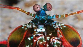 雀尾螳螂蝦