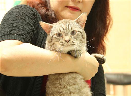 寵愛貓咪 北市推免費專屬課程教日常照護知識台北市動物保護處15日舉辦貓咪專屬課程「貓奴不可不知道的事情」記者會,貓咪行為教育專家高慧娟帶著2歲曼赤肯貓「大頭」,到會中分享貓咪日常照護知識。中央社實習記者謝秉憲攝 108年5月15日