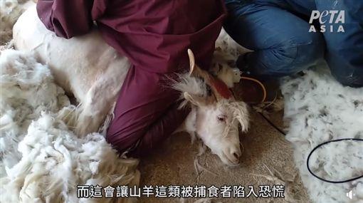 山羊遭金屬梳狂扯流血 慘忍取毛曝光(圖/翻攝自PETA 亞洲善待動物組織臉書)