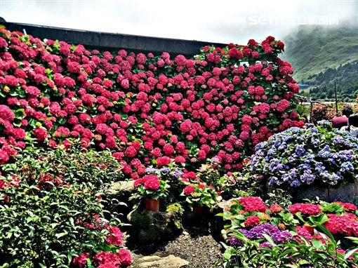 台北市產業發展局,竹子湖,繡球花,賞花,陽明山,繡球花季