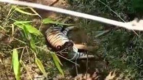泰國女子行經野生動物保護區碰到老虎攔路。(圖/翻攝自Book Za Sooksun臉書)