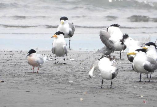 神話之鳥現蹤高屏溪黑嘴端鳳頭燕鷗(左2)被列為全球最瀕危的100個物種之一,特點為喙部為黃色,但其先端三分之一為黑色、最尖端部分為白色。目前全球數量約剩百隻,近來有1隻悄悄現蹤高屏溪出海口,讓鳥友們驚喜不已。(拍鳥俱樂部陳惠敏提供)中央社記者王淑芬傳真 108年5月17日