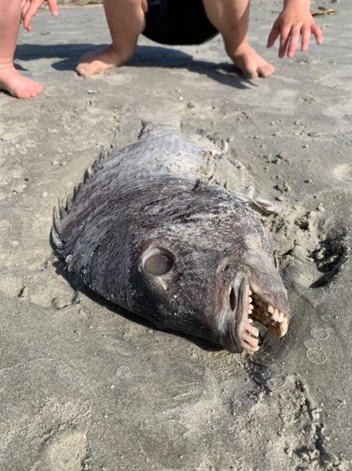 美國魚屍驚見整排人類牙齒,羊頭魚。(圖/翻攝自推特)