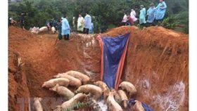 越南非洲豬瘟蔓延(圖/翻攝自vietnamnews.vn)