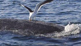 海鷗啄食鯨魚