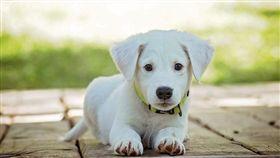 白幼犬(圖/翻攝自pixabay)