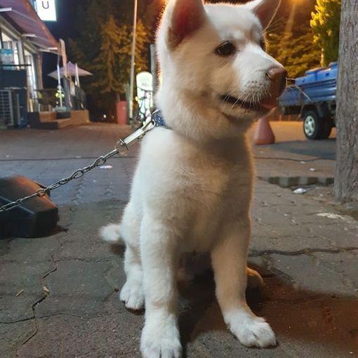 南韓,幼犬遭性侵,珍島犬(圖/翻攝自kjddok_kakaotalk IG)