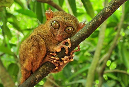 圖5(S)- 眼鏡猴shutterstock_59951983.jpg