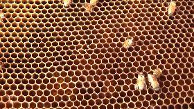 龍眼蜜絕收1800