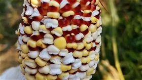 雲南天氣熱爆讓玉米變成爆米花。(圖/翻攝自微博)