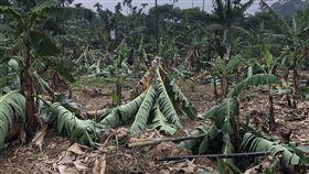 強降雨襲南投釀災 中寮香蕉樹倒一片強降雨日前襲擊南投縣,造成多種農作物受損,中寮鄉一處香蕉園經暴雨與強風摧殘,園內約600棵香蕉樹倒伏,損失慘重。中央社記者蕭博陽南投縣攝 108年5月22日