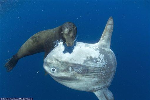 翻車魚,海獅,絕種,twitter,每日郵報 圖/翻攝自twitter