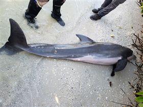海豚吞蓮蓬頭水管傷重死亡。(圖/翻攝自FWC Fish and Wildlife Research Institute臉書)