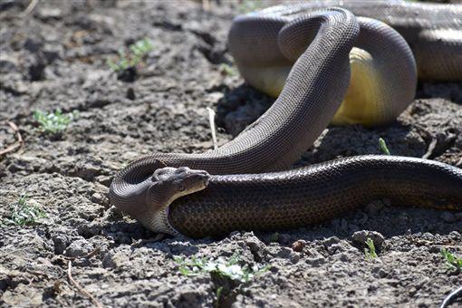 蟒蛇竟吞同類 反芻吐出「完整一條」(圖/翻攝自Parry Creek Farm Tourist Resort and Caravan Park臉書)