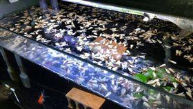 (圖/翻攝自爆廢公社)魚缸,飛蟻,白蟻,屍海