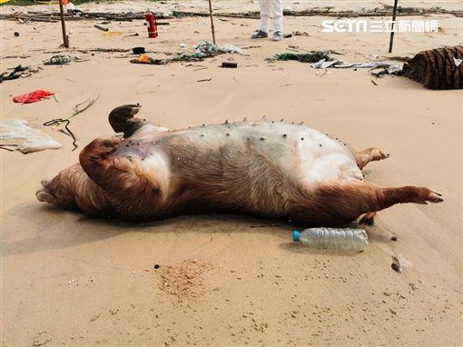 非洲豬瘟中央災害應變中心今(24)日表示,金門發現的海漂豬,驗出非洲豬瘟病毒,因此金門縣豬隻及其產品,將暫停輸往台灣和其他離島至少1周。(圖/金門縣府提供)